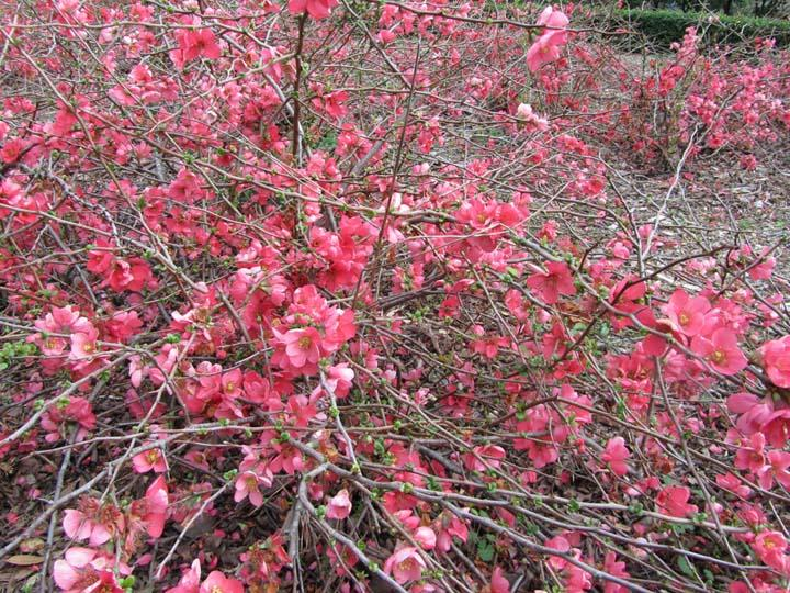 Flowering Quince!
